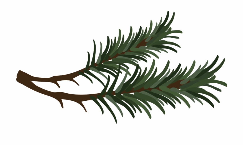 Branch Drawing Pine Needle.
