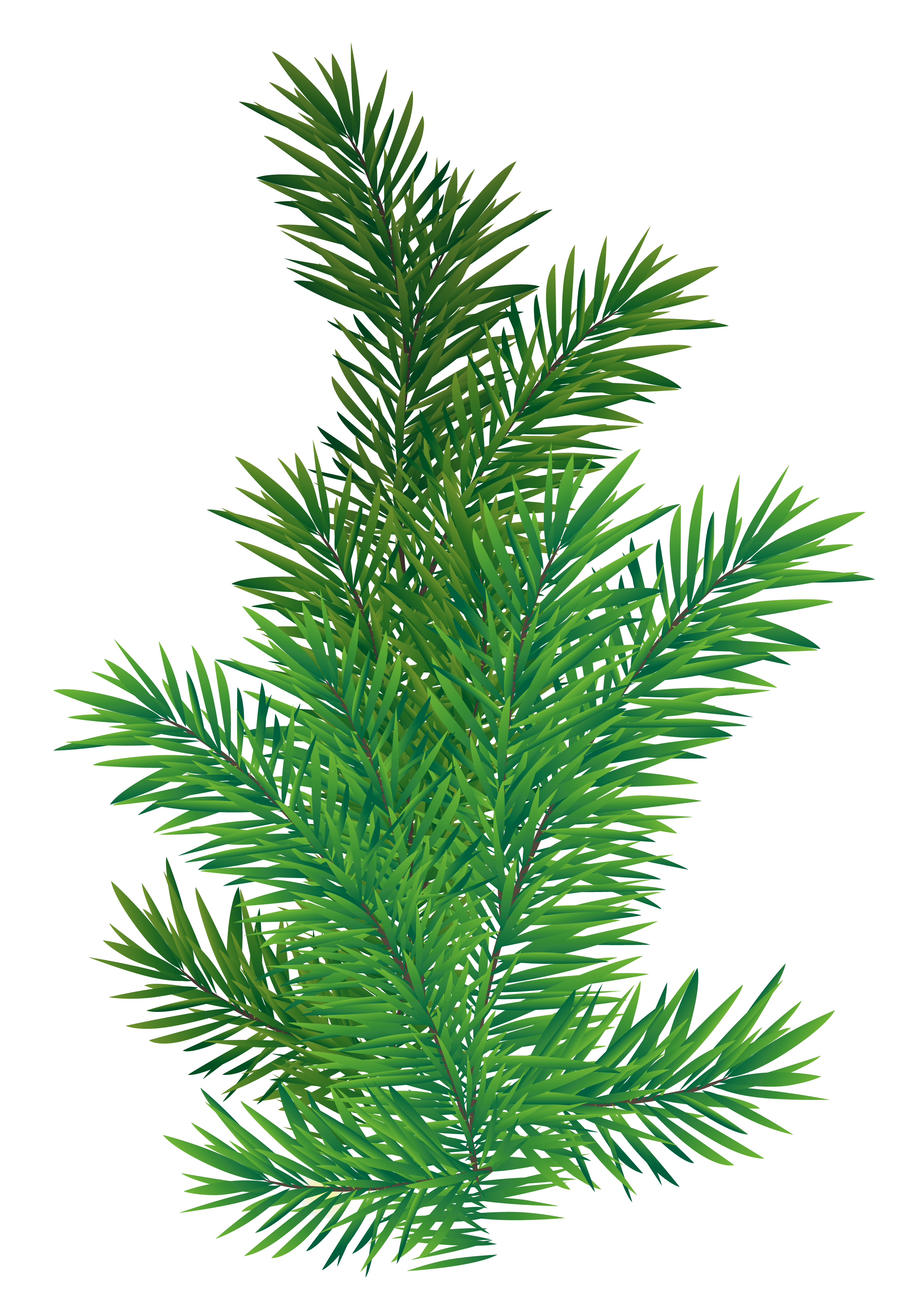 Pine Branch PNG Picture.