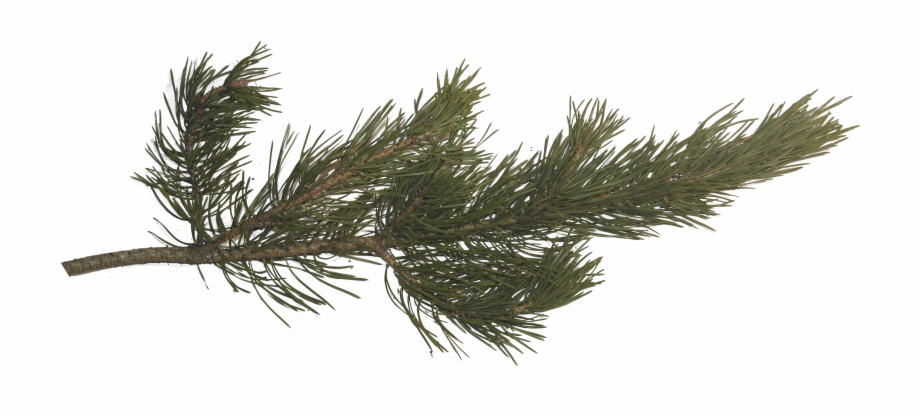 Pine Branch, Pine Tree, Tree Branches, Pictures Images.