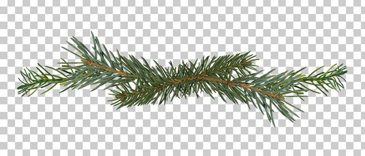 Salix Matsudana Pine Branch Conifer Cone PNG, Clipart.