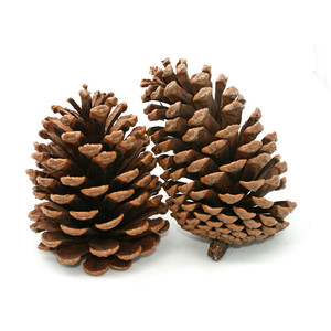 Pine cone pictures clip art.