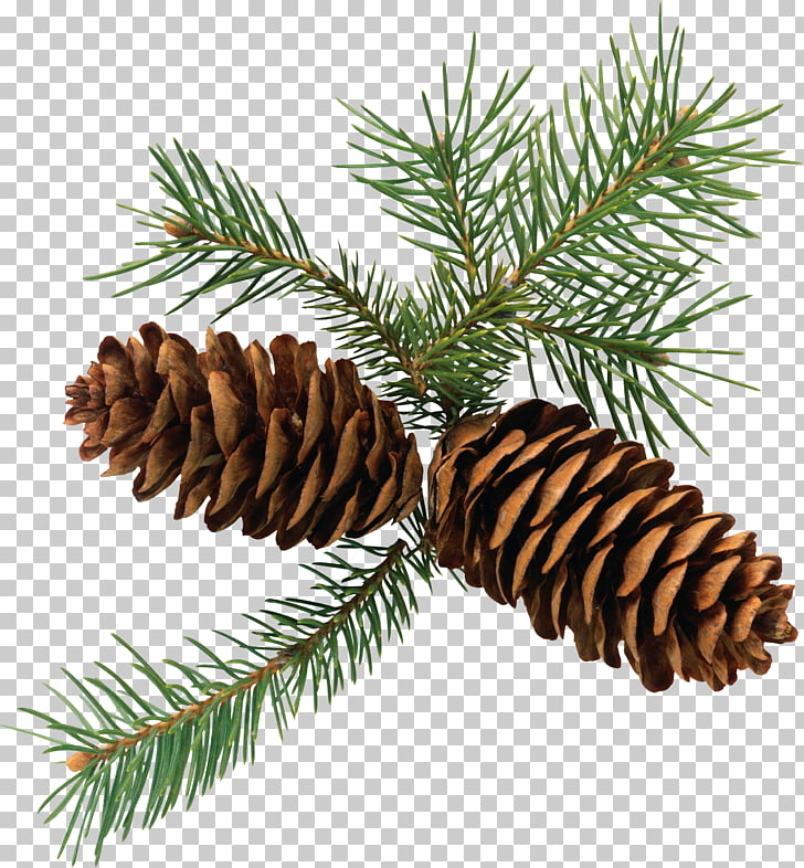 Pine Conifer cone Branch Fir , Pine cone , brown pinecones.