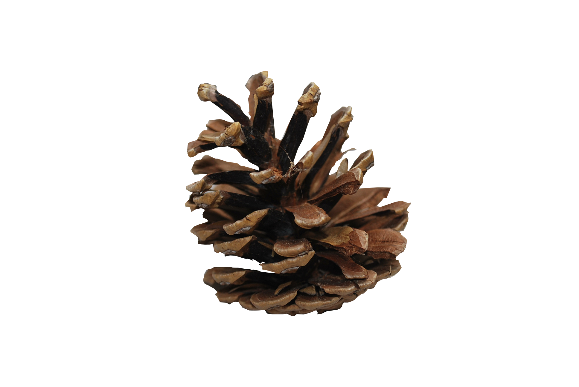 Pine cone PNG image free download.