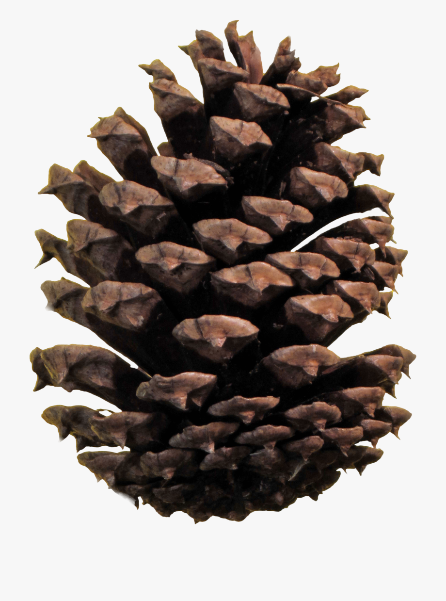 Pine Cone Png.