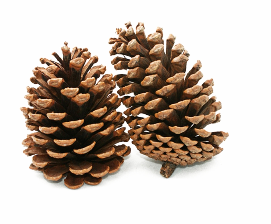 Pine Cone Png Background Image.