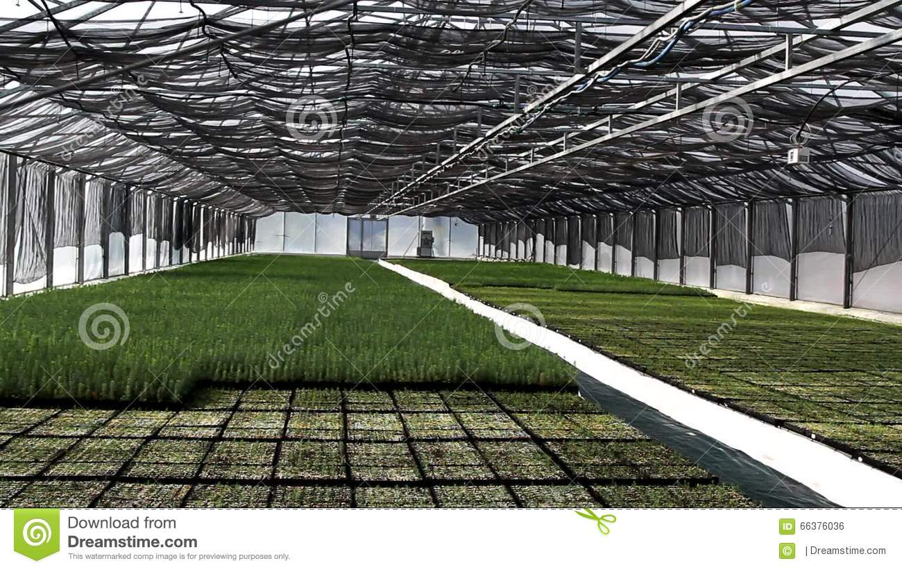 Automatic Watering Of Plants (Pine Trees) In The Greenhouse Stock.