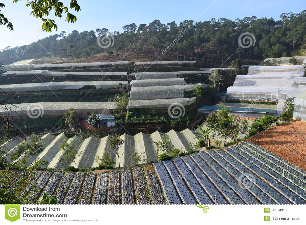 Greenhouses In The Valley Of Pine Forest In Dalat, Vietnam Stock.