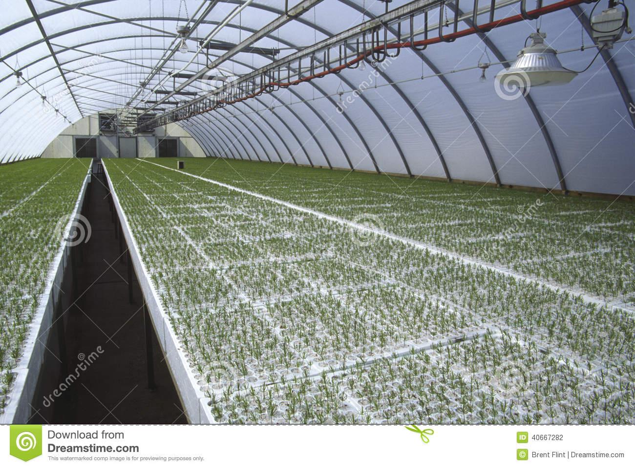 Seedlings In Greenhouse Stock Photo.