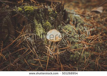 Pine Mushroom Stock Photos, Royalty.