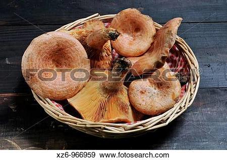 Stock Photograph of Edible mushroom, Saffron milk cap, Red pine.