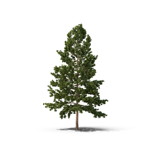 White Pine Tree PNG Images & PSDs for Download.