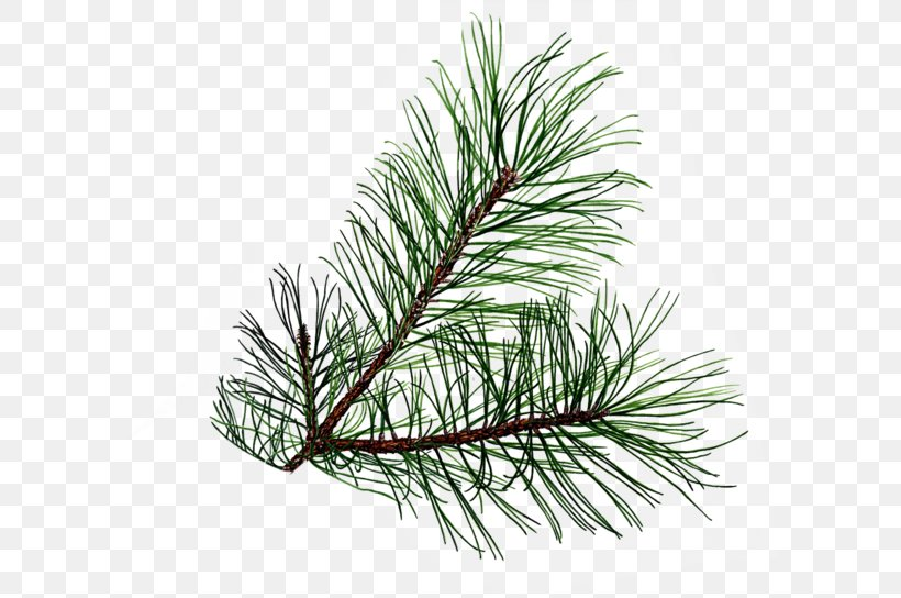 Branch Evergreen Pine Conifer Cone Clip Art, PNG, 600x544px.