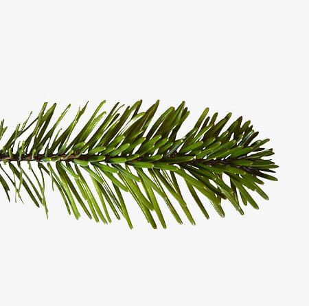 Christmas Pine Tree Branch PNG, Clipart, Branch Clipart.