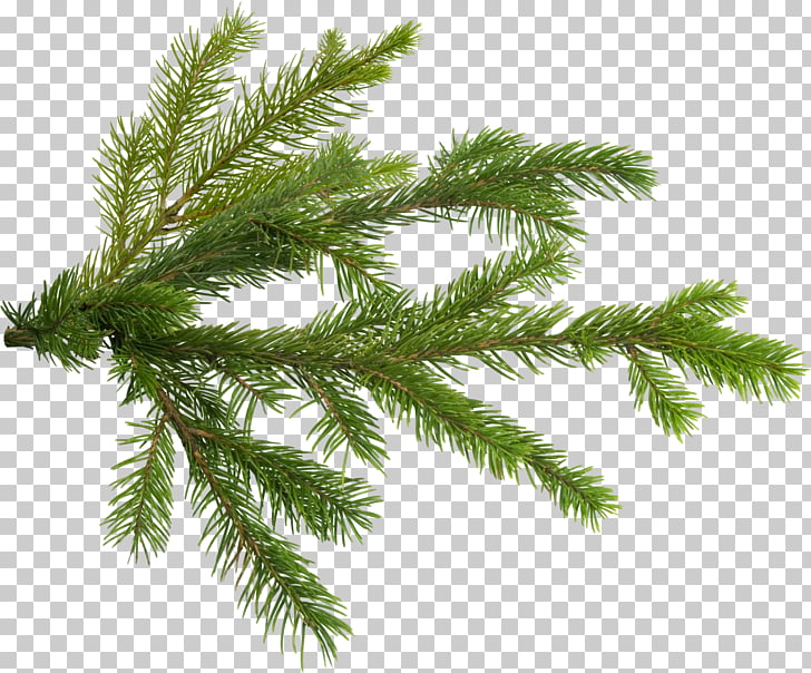Pine Tree Branch Fir, pine PNG clipart.