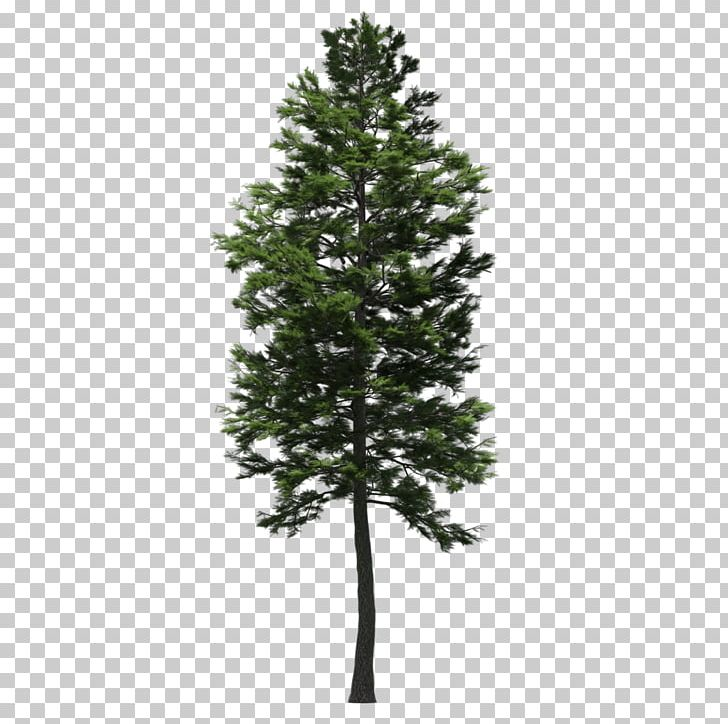 Spruce Scots Pine Fir Larch Tree PNG, Clipart, 2 In 1.