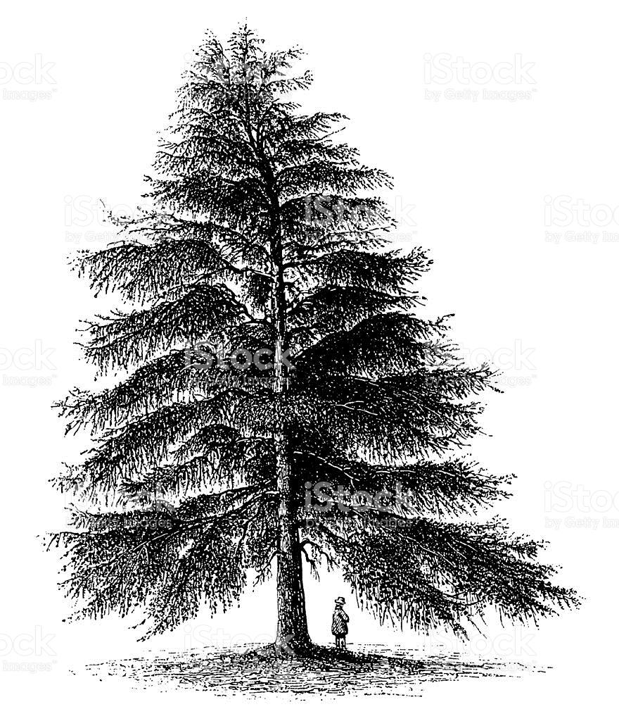 Vintage Clip Art And Illustrations Pine Tree stock vector art.