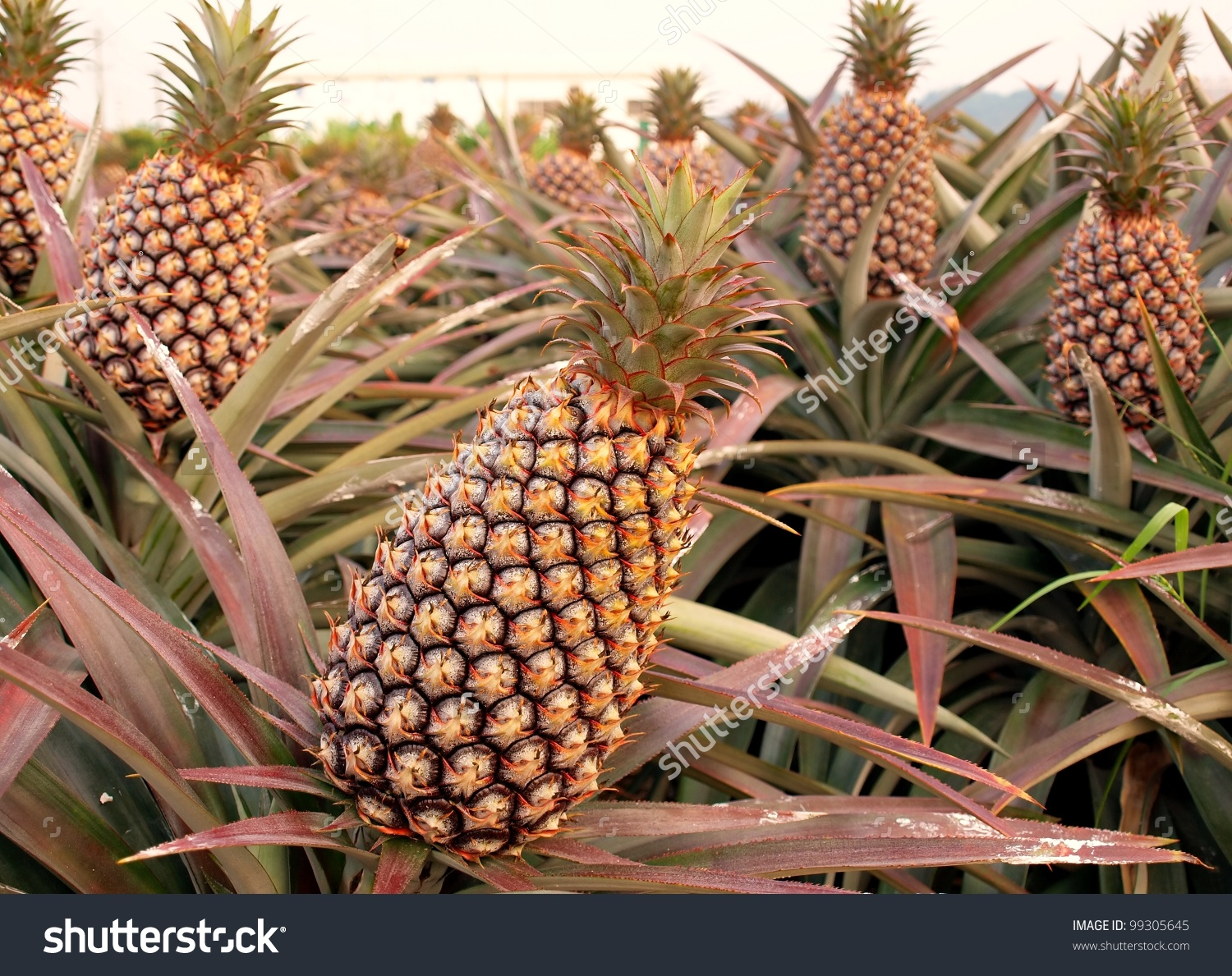 Pineapple plant clipart 20 free Cliparts | Download images ...
