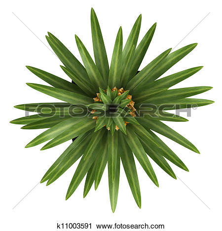 Clipart of Fruiting pineapple plant k11003591.
