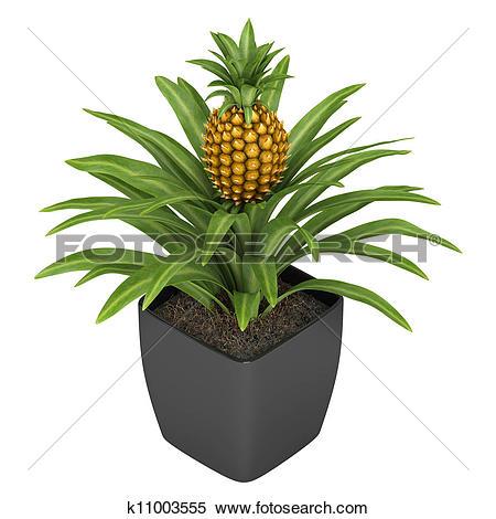 Stock Illustration of Fruiting pineapple plant k11003555.