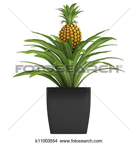 Drawings of Fruiting pineapple plant k11003554.