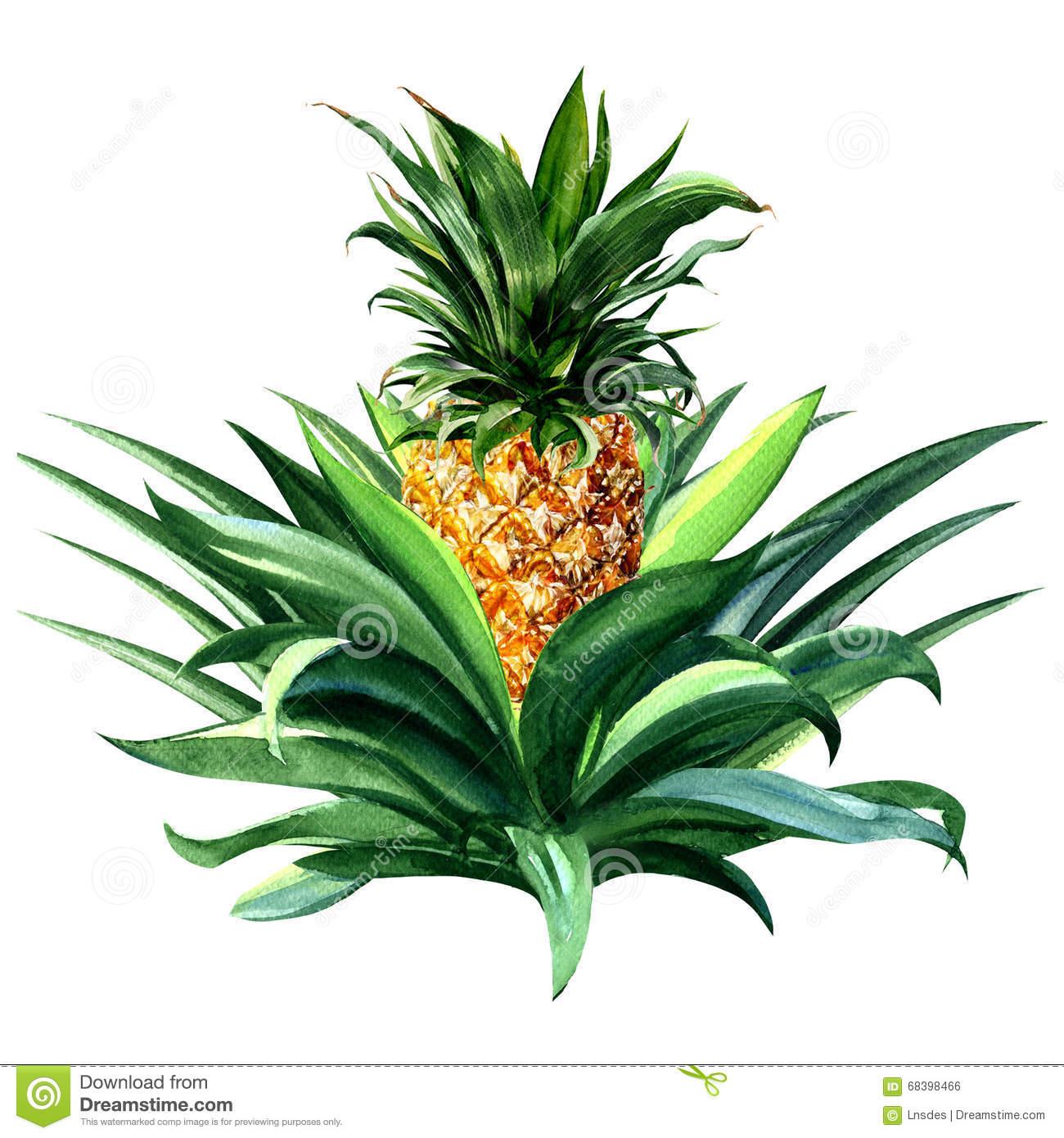 Growing Fruit Pineapple Stock Photo.