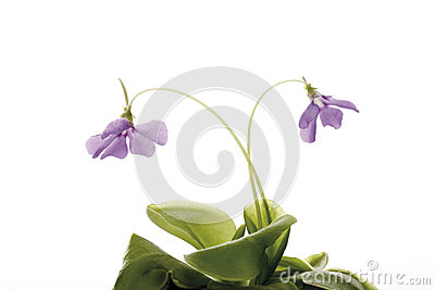 Carnivorous Plant, Buttewort (Pinguicula) Stock Photo.