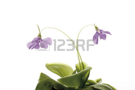 Tropical Carnivorous Plants Stock Photos & Pictures. Royalty Free.