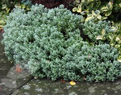 Evergreen shrub: Cotoneaster Simonsii. Can be pruned and trained.