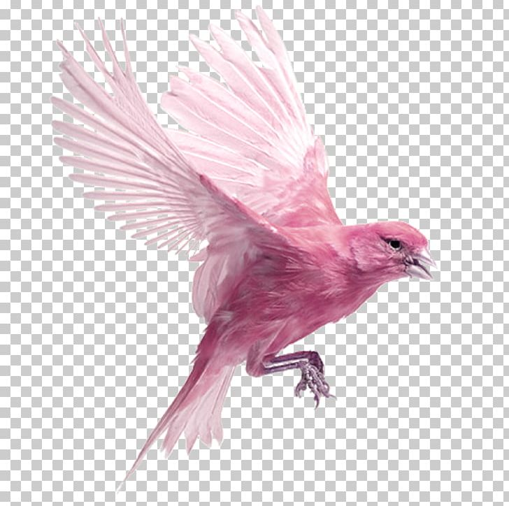 Harz Roller Bird Finch Ocypete PNG, Clipart, Animal, Animals.
