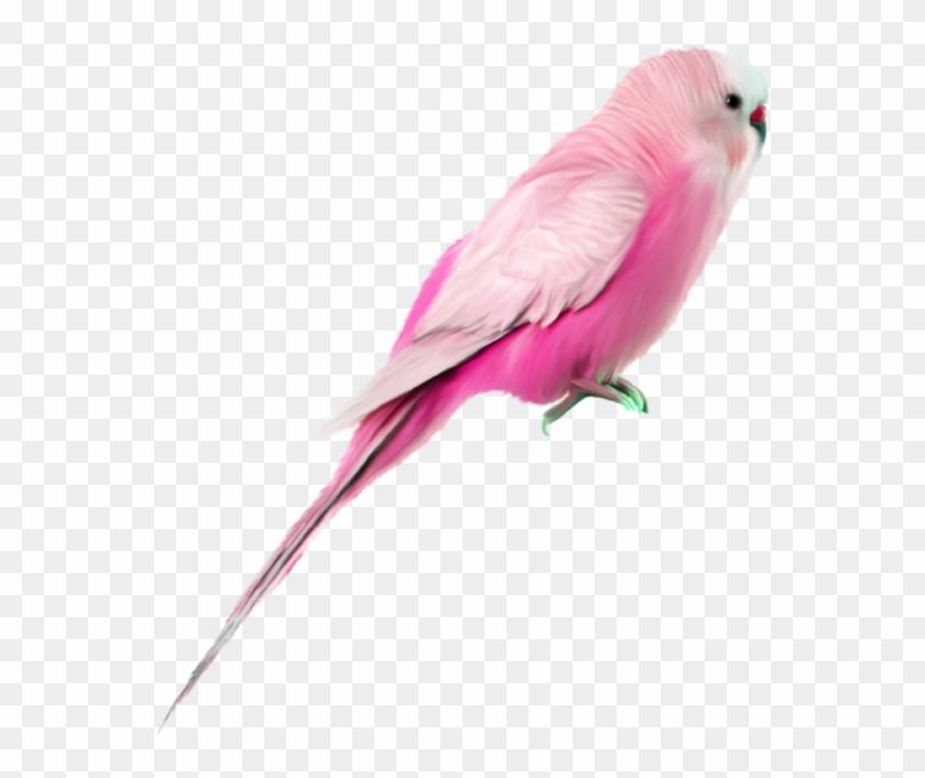 bird #pinkbird #pink #budgie #pet #wellensittich #haustiere.
