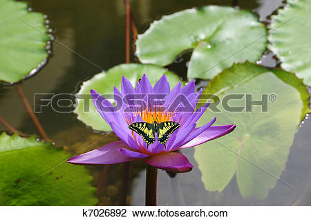 Stock Photo of Pink water lily and butterfly k7026892.