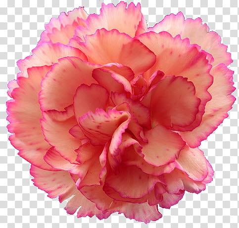 Carnation , pink carnation flower transparent background PNG.