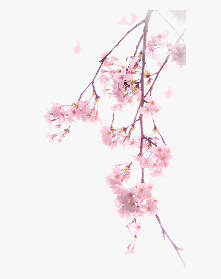 Cherry Blossom Png Spring.