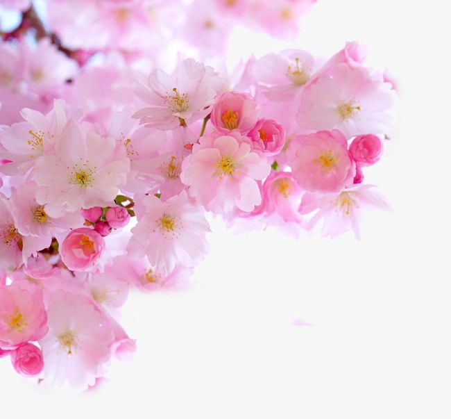 Pink Cherry Blossom Branches PNG, Clipart, Blossom Clipart.