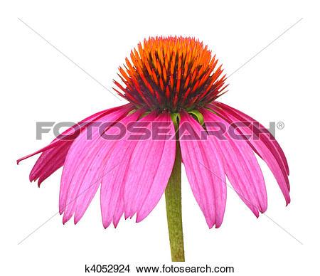 Stock Photo of Purple Coneflower, Echinacea k4052924.