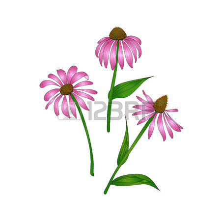 Pink coneflower clipart #16
