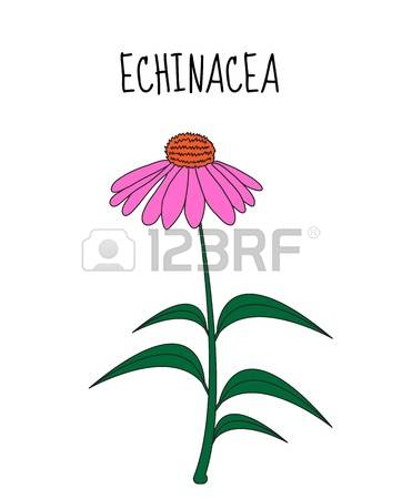 132 Coneflower Stock Vector Illustration And Royalty Free.
