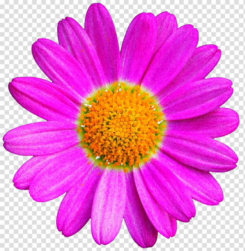 Popping Pink Daisy transparent background PNG clipart.