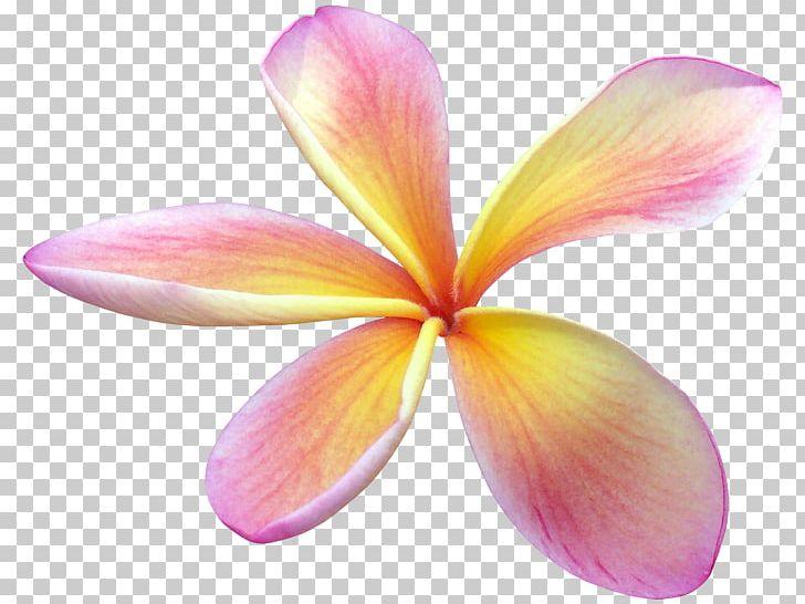 Flower Sticker Frangipani PNG, Clipart, Arama, Clip Art.