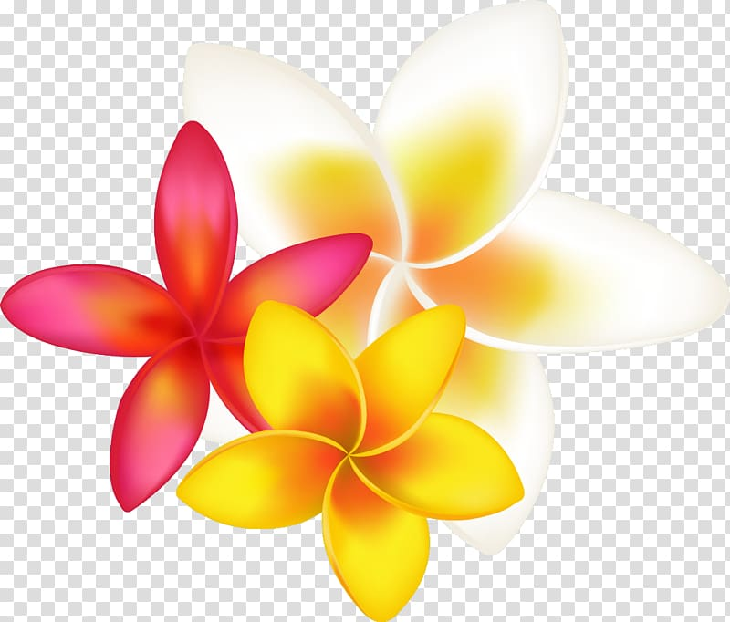 Pink, yellow, and white plumeria flowers, Frangipani Drawing.