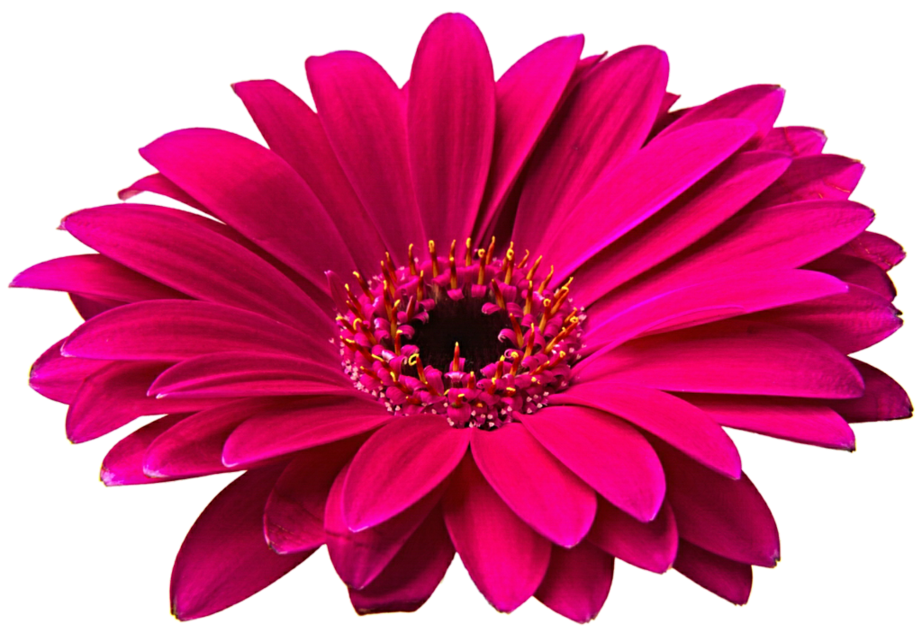 Free Gerbera Daisy Cliparts, Download Free Clip Art, Free.