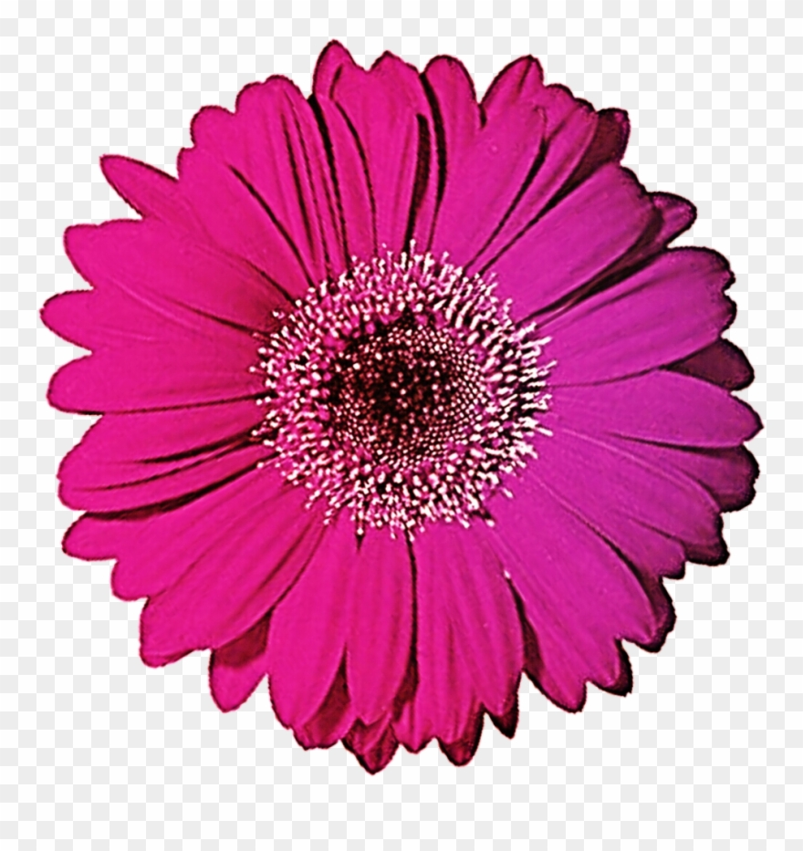 Gerbera Clipart Black And White.