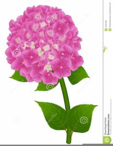 Pink Hydrangea Clipart.