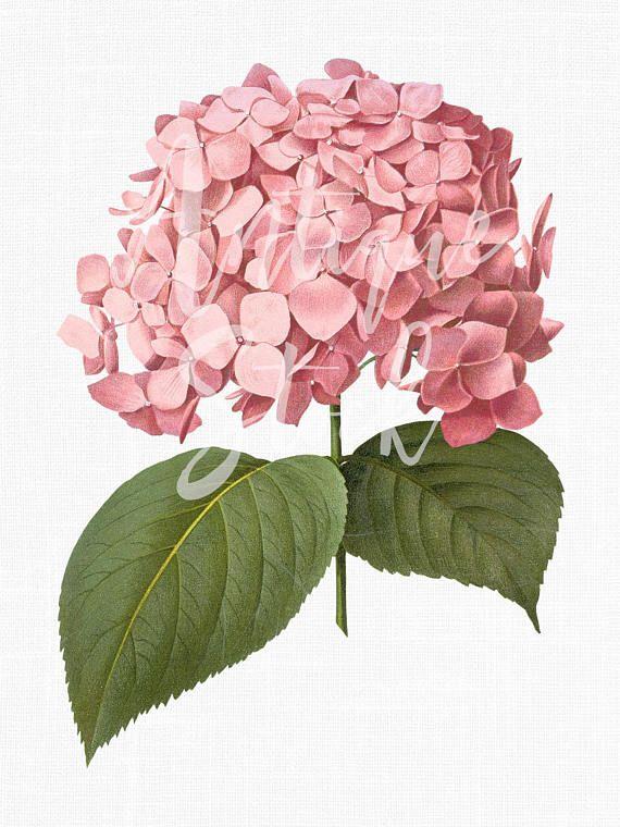 Flower Clipart \'Pink Big Leaf Hydrangea\' Botanical.