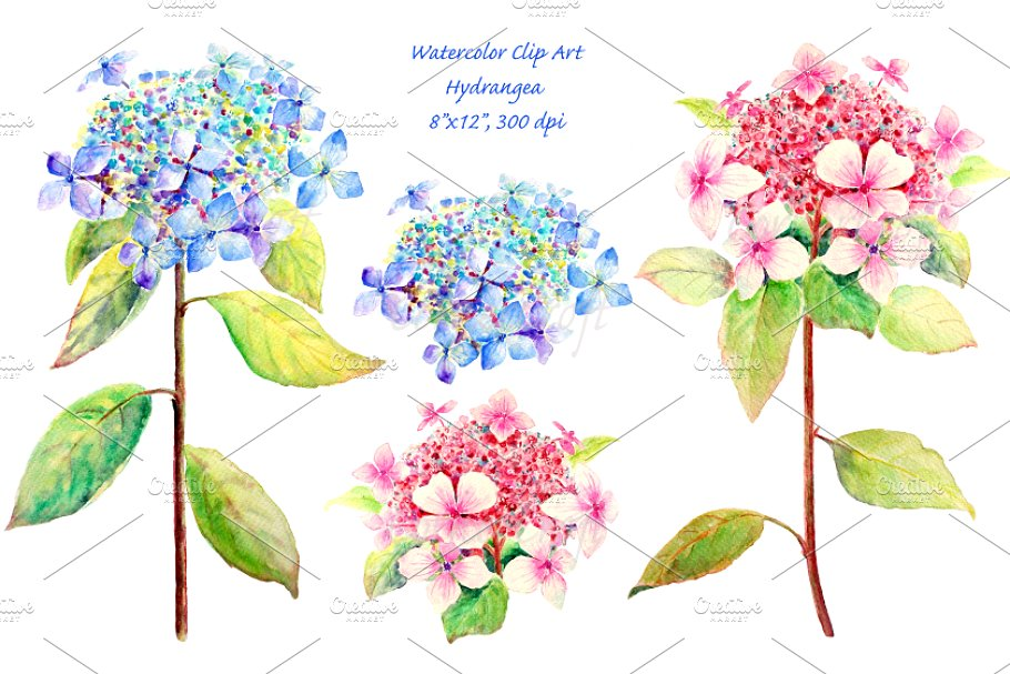 Watercolor Blue and Pink Hydrangea.