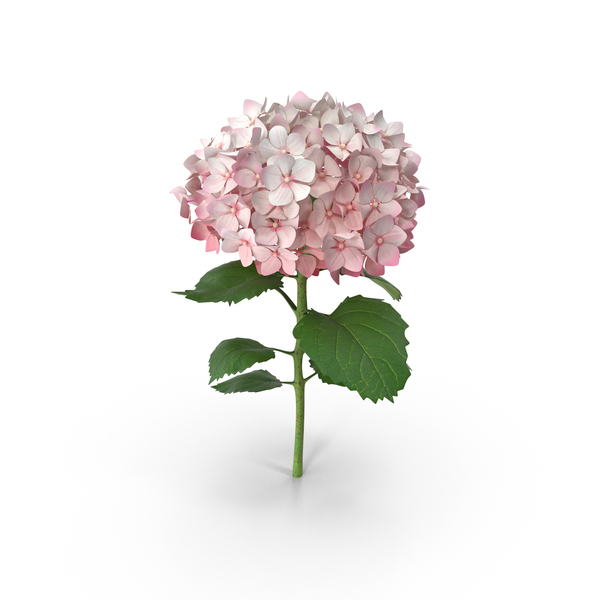 Pink Hydrangea PNG Images & PSDs for Download.