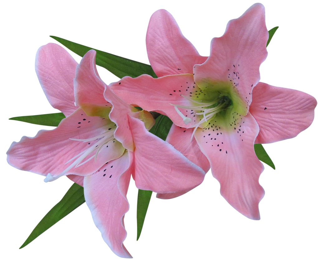 Transparent_Pink_Lily_Flower_Clipart.png?m=1380664800.