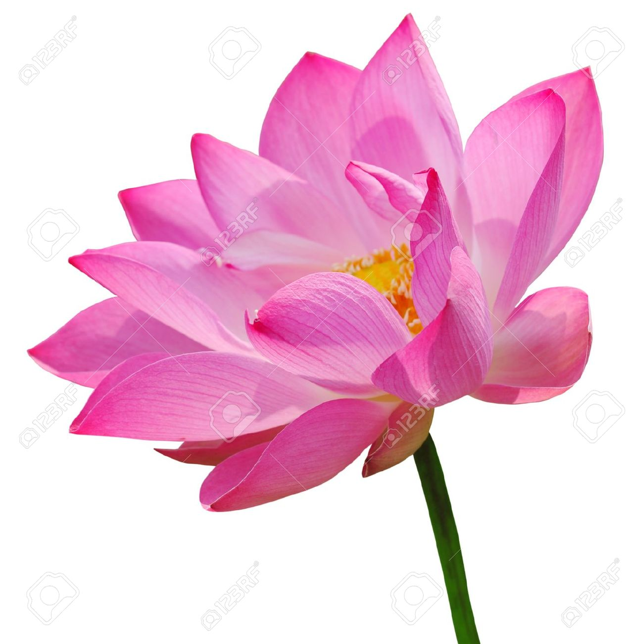 Pink Lotus Flower Clip Art.