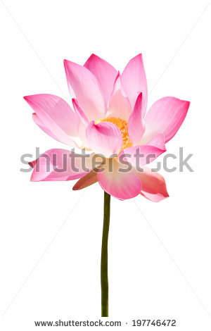 Pink lotus flower faded clipart - Clipground