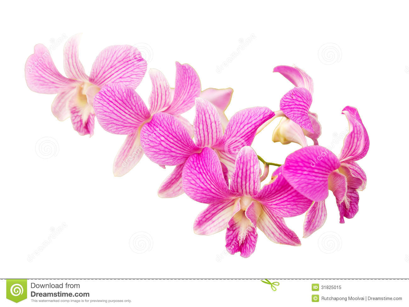 Pink Orchid Flower Royalty Free Stock Photo.